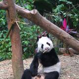 シンガポールのリバーサファリ パンダ