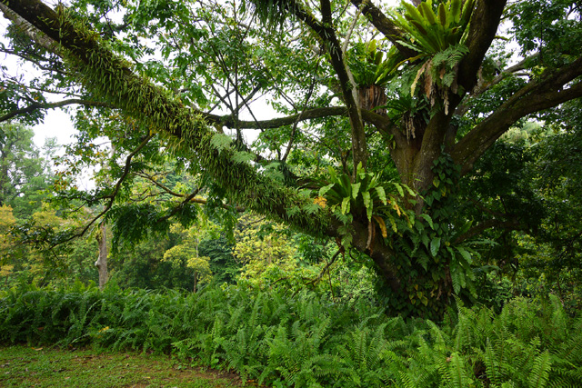 シンガポール植物園の樹